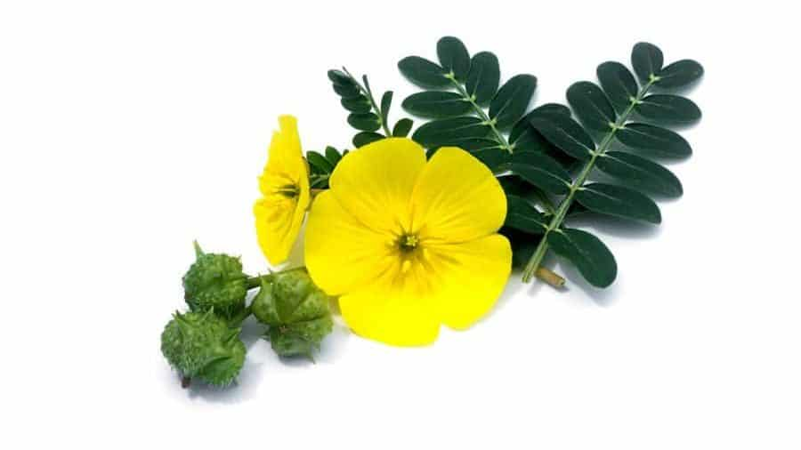 Tribulus Terrestris | Why should men care?