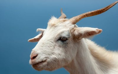 Horny Goat Weed for Male Vitality – REALLY?