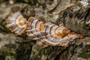 turkey tail adaptogenic mushroom