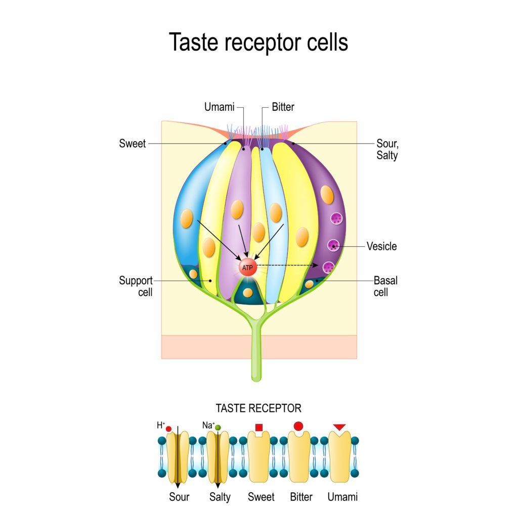 taste bud receptors